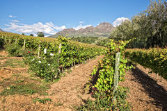 Stellenbosch, South Africa. Vineyards of Stellenbosch, South Africa royalty free stock images