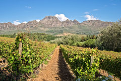 Stellenbosch, South Africa. Vineyards of Stellenbosch, South Africa Stock Photo