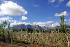 Stellenbosch Vines. Vines and mountains of Stellenbosch, South Africa Royalty Free Stock Image