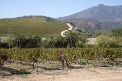 Stellenbosch vines in the Western Cape South Africa Stock Photo