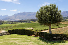 Stellenbosch Vineyard Stock Photo