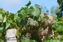 Stellenbosch, Western Cape Province, South Africa. Red wine leaf on vine in Stellenbosch, Western Cape Province , South Africa. Shallow depth of field Stock Photos