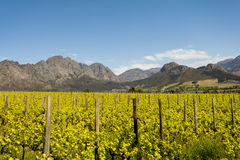 Stellenbosch wine region close to Cape Town, South Africa Royalty Free Stock Photos