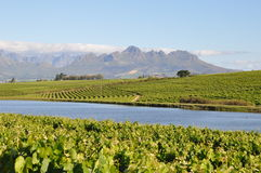 Stellenbosch winelands south africa. Stellenbosch winelands in south africa vineyard scene Royalty Free Stock Photography