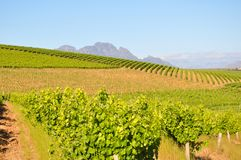 Stellenbosch winelands south africa. Vineyards winery mountains country Stock Photography