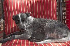 Stellende hond 2 Royalty-vrije Stock Foto