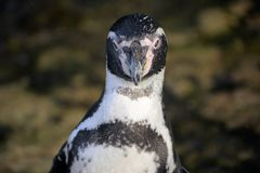 Stellende Pinguïn stock foto's