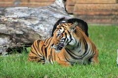 Stellende tijger Royalty-vrije Stock Afbeeldingen