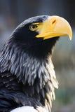 Steller´s sea-eagle - head Stock Image