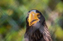 Steller的海鹰纵向 免版税图库摄影