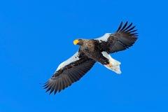 Steller的海鹰, Haliaeetus pelagicus,飞行的鸷,与蓝天在背景中,北海道,日本 图库摄影