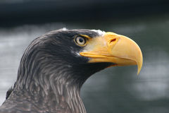 Steller的海鹰 免版税库存照片