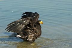 Steller& x27; águila de mar de s en la charca Imágenes de archivo libres de regalías