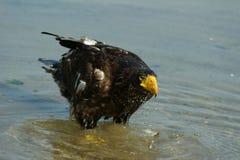Steller& x27; águila de mar de s en la charca Imagenes de archivo