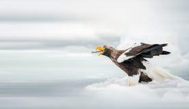 steller моря орла s Стоковая Фотография