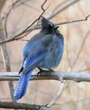 Steller Jay (Cyanocitta Stelleri) Fotografia Royalty Free