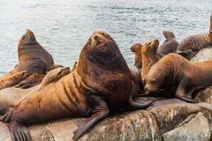 Steller ` s海狮, Kenai海湾国家公园,阿拉斯加 库存图片