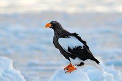 Steller ` s海鹰, Haliaeetus pelagicus,与抓住鱼的鸟,与白色雪,北海道,日本 野生生物行动行为scen 免版税库存照片