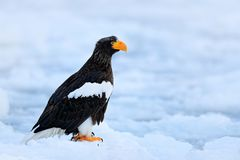 Steller ` s海鹰, Haliaeetus pelagicus,与抓住鱼的鸟,与白色雪,萨哈林岛,俄罗斯 在冰的老鹰 冬天日本wi 库存图片