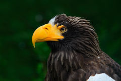 Steller ` s海鹰, Haliaeetus pelagicus,棕色鸷画象与大黄色票据,堪察加,俄罗斯的 美丽的detai 库存照片