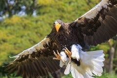 Steller ` s海鹰, Haliaeetus pelagicus,鸷在fligh的 免版税图库摄影