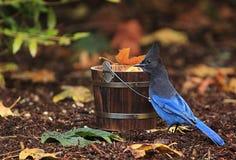 Steller-` s Blau Jay Wooden Bucket Fall Leaves stockbilder