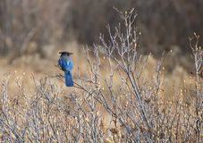 Free Steller`s Blue Jay On Branch In Meadow At Yosemite National Park Stock Images - 107324904