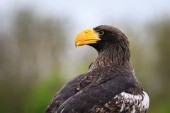 Steller ` s dennego orła Haliaeetus pelagicus Zdjęcia Stock