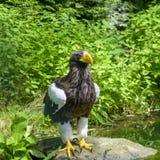 Steller ` s denny orzeł w Walsrode ptaka parku, Niemcy Wielki ptak zdobycz Obraz Stock