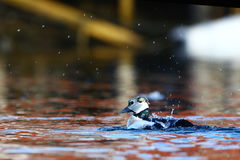 Steller's eider cleaning in water Stock Image
