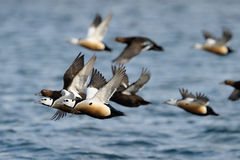Steller's Eider flying Royalty Free Stock Images