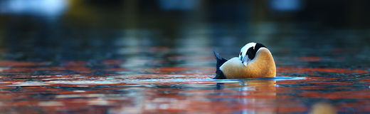 Steller's eider preening in water Stock Images