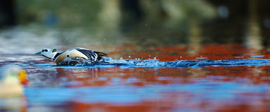 Steller's eider rushing to chase a rival Stock Photo