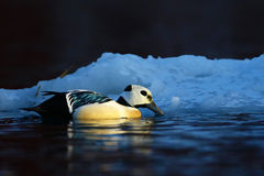 Steller's eider and small iceberg Stock Photography