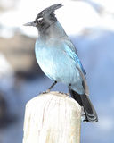 Steller's Jay Royalty Free Stock Photo