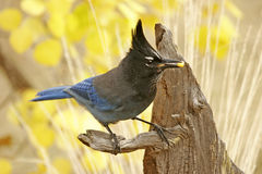 Steller's Jay Royalty Free Stock Photography