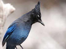A Steller's Jay  Royalty Free Stock Image
