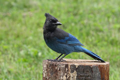 Free Steller S Jay Stock Photography - 6196492