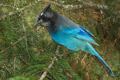 Steller's Jay. Adult Steller's Jay Perched In Pine Tree, Rocky Mountain Interior Form Royalty Free Stock Image