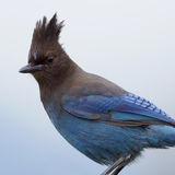 Steller's Jay Stock Photography