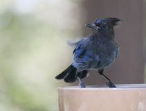 Steller's Jay on a Bowl. A Steller's Jay stops and visits on a bowl Royalty Free Stock Photo