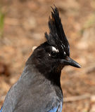 Steller's Jay With Crest Raised. A portrait of a Steller's Jay with its crest raised in Colorado Royalty Free Stock Image