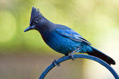 Steller's Jay (Cyanocitta stelleri). Royalty Free Stock Images