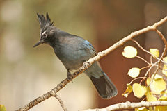 Steller's Jay (Cyanocitta stelleri) Stock Images