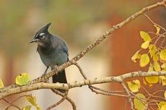 Steller's Jay (Cyanocitta stelleri) Royalty Free Stock Image