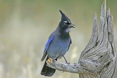 Steller's Jay (Cyanocitta stelleri) Stock Photography