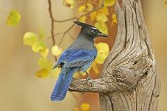 Steller's Jay (Cyanocitta stelleri) Royalty Free Stock Images