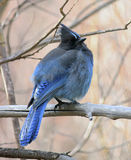 Steller's Jay (Cyanocitta Stelleri) Royalty Free Stock Photography
