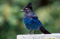 Steller's Jay (Cyanocitta stelleri) Royalty Free Stock Photos
