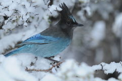 Steller's Jay (Cyanocitta stelleri) in snow. Steller's Blue Jay on a snow-laden tree branch stock photos